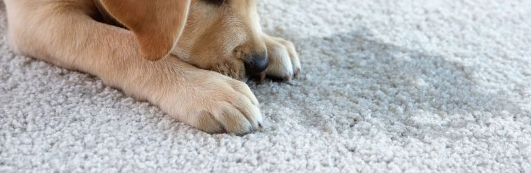 Pet Urine Remove From a Carpet