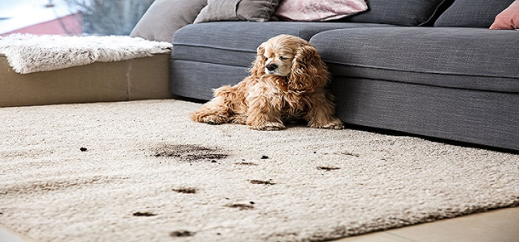 Pet Stain Removal Moorooka
